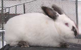 какие самые выгодные пород кроликов мясных пород лучше разводить